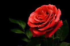 Grande rose de rouge sur un fond noir Photos libres de droits
