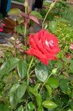 Grande rose rouge classique dans un jardin rustique d'été image libre de droits