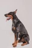Grande séance masculine de vue de profil de chien noir Photographie stock libre de droits