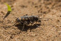 Grande sabbia Tiger Beetle Immagine Stock Libera da Diritti
