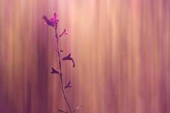 Grande salvia rosa del Texas Fotografia Stock