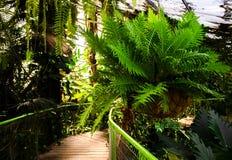 Grande samambaia verde que pendura no potenciômetro grande Foto de Stock Royalty Free