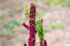 Grande sauterelle deux se reposant sur l'amaranthe Photo libre de droits