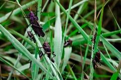 Grande sauterelle se reposant sur une tige d'herbe Images stock