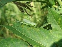 Grande sauterelle verte Photographie stock libre de droits