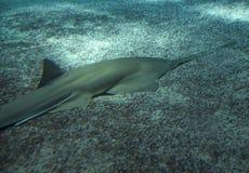 Grande sawfish, igualmente conhecido como o tubarão do carpinteiro fotografia de stock