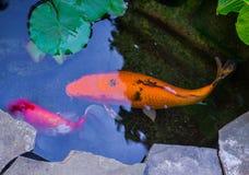 Grande sbirciata dorata, nera ed arancio del pesce rosso di oranda e di koi fuori da sotto i travertini Fotografie Stock