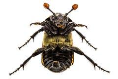 Grande scarabeo dell'invertito di sulla parte posteriore, isolata su bianco Fotografia Stock Libera da Diritti