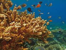 Grande scogliera di barriera di ramificazione dei pesci e del corallo Fotografie Stock