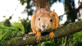 Grande scoiattolo che si siede su un ramo fotografia stock libera da diritti