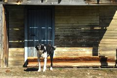 Grande scortecciamento del cane fotografie stock