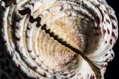 Grande seashell Immagine Stock