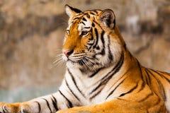Grande seduta della tigre Fotografia Stock