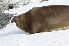 Grande selo de elefante do sul masculino que rastejou através da neve t Fotos de Stock
