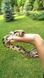 Grande serpente Fotografie Stock Libere da Diritti