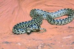 Grande serpente di gopher del bacino (deserticola del catenifer del Pituophis) Fotografie Stock Libere da Diritti