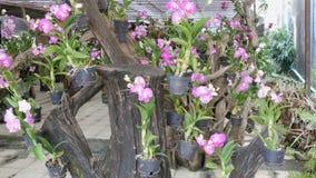 Grande serra con le belle orchidee del giglio Molti fiori porpora delicati sopra nel giardino botanico archivi video