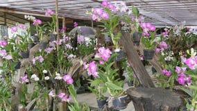 Grande serra con le belle orchidee del giglio Molti fiori porpora delicati sopra nel giardino botanico video d archivio