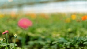 Grande serre chaude et Gerbera rose clips vidéos