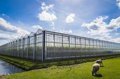 Grande serre chaude Harmelen de tomate Photographie stock libre de droits