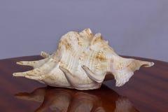 Grande shell amarelo imagem de stock