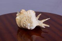Grande shell amarelo imagens de stock royalty free