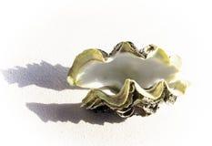 Grande, shell bivalve velho no fundo branco imagem de stock