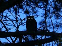 A grande silhueta da coruja Horned empoleirou-se na incandescência dos ramos e dos olhos do pinho Fotografia de Stock