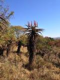 Grande silhueta da planta do aloés com Fotografia de Stock Royalty Free