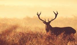 Grande siluetta del maschio dei cervi nobili Fotografie Stock