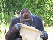 Grande singe noire forte Gorilla Playing de singe avec le sac Photographie stock libre de droits