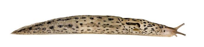 Grande Slug cinzento - maximus do Limax Imagens de Stock