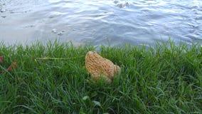 Grande soggiorno giallo della rana vicino al lago Fotografie Stock