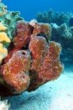 Grande spugna del mare sulla parte inferiore del Mar Rosso immagini stock libere da diritti