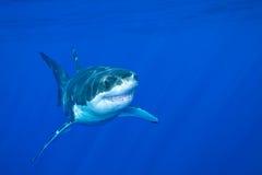 Grande squalo bianco Fotografie Stock Libere da Diritti