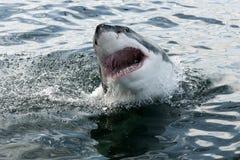 Grande squalo bianco Fotografie Stock
