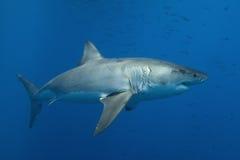 Grande squalo bianco Immagini Stock Libere da Diritti