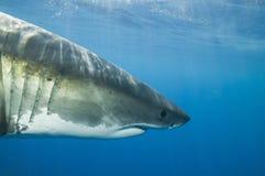 Grande squalo bianco Immagine Stock Libera da Diritti