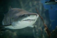 Grande squalo bianco immagini stock