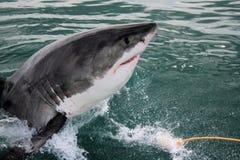 Grande squalo bianco - Carcharias del Carcharodon Immagini Stock