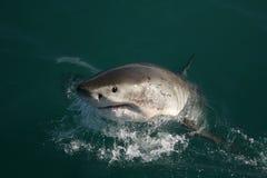 Grande squalo bianco - Carcharias del Carcharodon Fotografia Stock Libera da Diritti