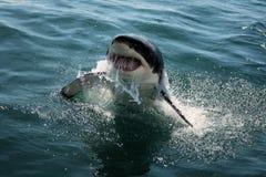 Grande squalo bianco - Carcharias del Carcharodon Immagine Stock