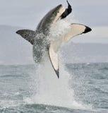 Grande squalo bianco (carcharodon carcharias) che viola in un attacco Fotografie Stock