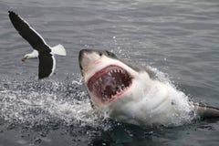 Grande squalo bianco di attacco Immagine Stock Libera da Diritti