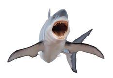Grande squalo bianco feroce isloated su bianco Fotografia Stock Libera da Diritti