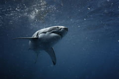 Grande squalo bianco subacqueo Fotografie Stock