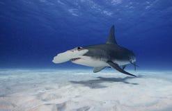 Grande squalo martello subacqueo fotografia stock libera da diritti