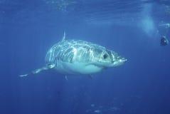 Grande squalo più bianco Fotografie Stock