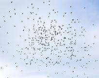 Grande stormo degli uccelli neri, corvi che circondano su nel cielo blu Immagine Stock