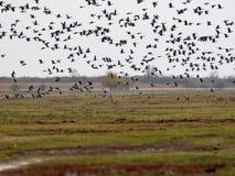 Grande stormo del anser del Anser dell'oca selvatica di volo, nel parco nazionale della GY del ¡ di HortobÃ, l'Ungheria fotografia stock